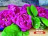 Otet de trandafiri (250ml)